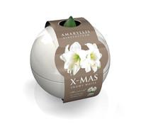Amaryllis Christmas-Ball, weiß
