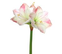 Amaryllis creme/pink, 66 cm