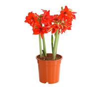 Amaryllis 'Multiflower'