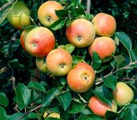 Apfel 'Alkmene'