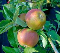 Apfel 'Cox Orange'