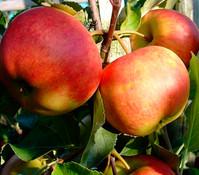 Apfel-Duo 'Gala'/'Elstar'