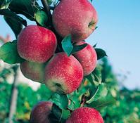 Apfel 'Florina'