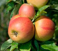 Apfel 'Goldparmäne'