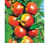Apfel 'Jonagold'