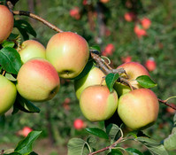 Apfel 'Pinova', Busch