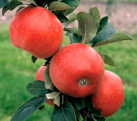 Apfel 'Reglindis'