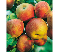 Apfel 'Roter Boskoop'