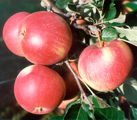 Apfel 'Roter James Grieve'