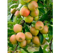 Apfel 'Rubinola', Busch