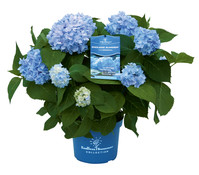 Bauern-Hortensie 'Endless Summer'