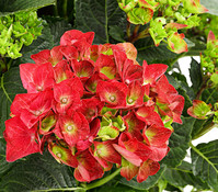 Bauern-Hortensie - Garten-Hortensie, rot