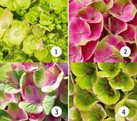 Bauern-Hortensie 'Magical® Four Seasons Amethyst'