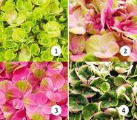 Bauern-Hortensie 'Magical® Four Seasons Coral'