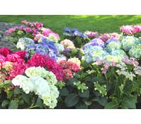 Bauern-Hortensien, Sonderfarben
