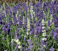 Bayern-Lavendel