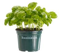 Bioland Basilikum