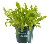 Bioland Rucola - Salatrauke