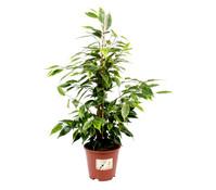 Birkenfeige - Ficus 'Anastasia'