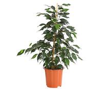 Birkenfeige - Ficus 'Danielle'