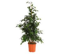 Birkenfeige - Ficus 'Danielle'/'Regina', Stämmchen