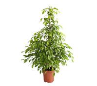 Birkenfeige - Ficus 'Reginald'