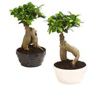 Birkenfeige 'Ginseng' in Keramikschale