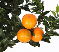 Bitterorange 'Chinotto'