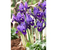 Blaue Zwerg-Iris - Netz-Schwertlilie