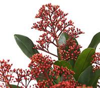 Blütenskimmie 'Rubella'