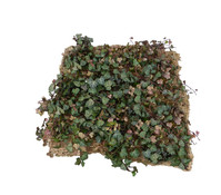 Bodendecker am laufenden Meter® - Efeu, Standardmatte, 10 Stück, ca. 10 m²