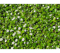 Bodendecker am laufenden Meter® - Zwergmispel 'Frieders Evergreen', 55x36 cm, Klassikmatte, 10 Stück