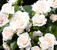 Bodendecker Rose 'Aspirin'®