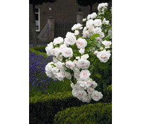 Bodendecker Rose 'Aspirin®'