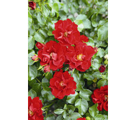 Bodendecker Rose 'Matador®'