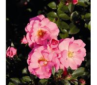 Bodendecker Rose 'Mirato®'