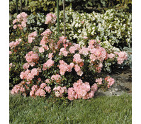 Bodendecker Rose 'Satina®'