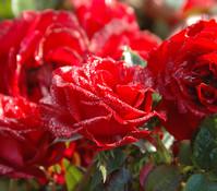 Bodendeckerrose 'Dark Red', rot