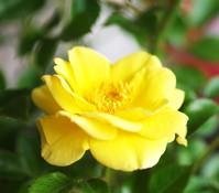 Bodendeckerrose 'Dolly Dot', gelb