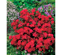 Bodendeckerrose 'Fairy Queen', rot