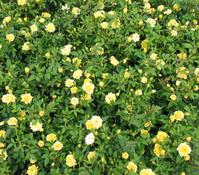 Bodendeckerrose 'Golden Sun', gelb