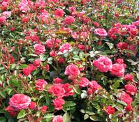 Bodendeckerrose 'Heidesinfonie', rosa