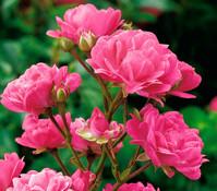 Bodendeckerrose 'Lovely Fairy', rosa