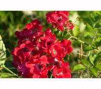 Bodendeckerrose 'Red Fairy'