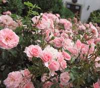 Bodendeckerrose 'The Fairy', rosa