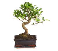 Bonsai Birkenfeige 'Ginseng', in Keramik