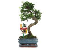 Bonsai Chinesische Ulme, ca. 22 cm