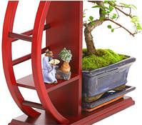 Bonsai - Chinesische Ulme, im Rund-Regal