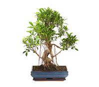 Bonsai - Chinesischer Feigenbaum, 10 Jahre