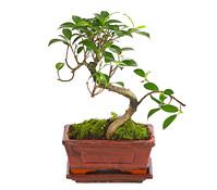Bonsai - Chinesischer Feigenbaum, 6 Jahre